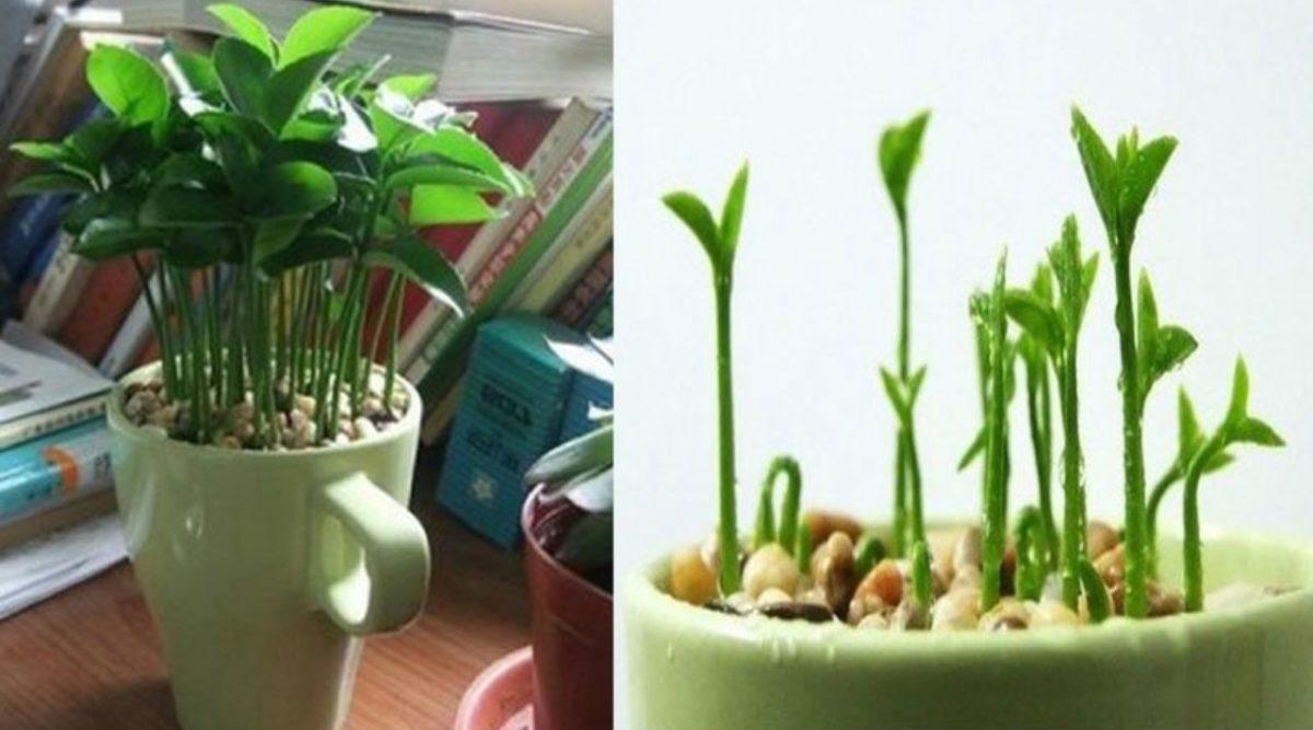 Comment Cultiver Un Citronnier En Pot apprenez à planter du citron dans une tasse et votre maison