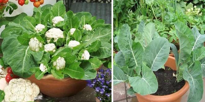 des conseils sur comment faire pousser des choux-fleurs ...
